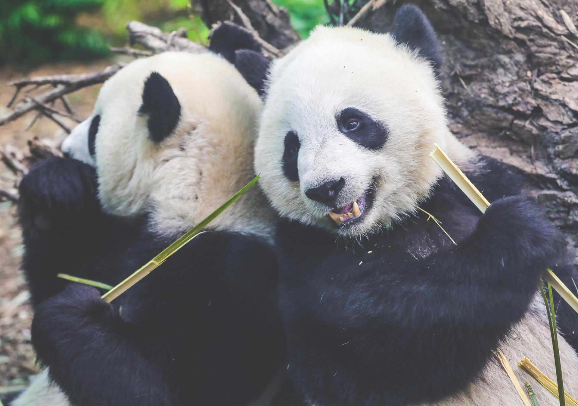 Panda Fun Facts Tourism Calgary