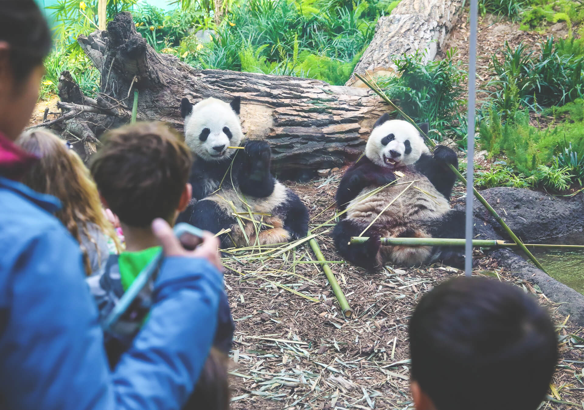 Observing Giant Pandas at the Calgary Zoo
