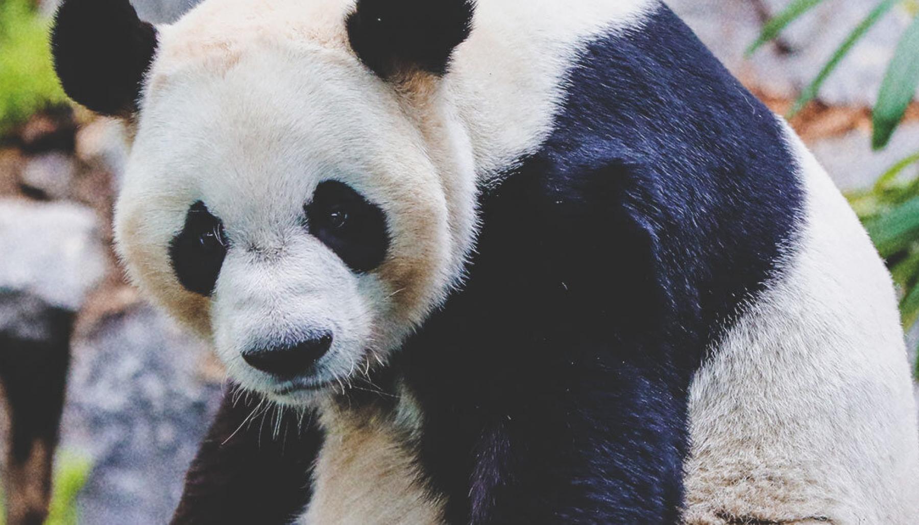 Panda Fun Facts | Tourism Calgary